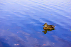 Duck on Blue Lake. With its Reflection in Water Royalty Free Stock Images