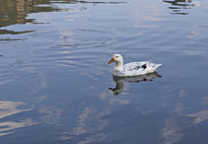 Duck on blue lake in South Africa Stock Images