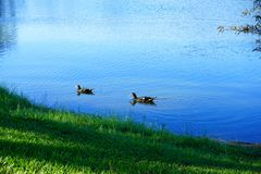 Duck in a blue pond Royalty Free Stock Images