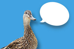 Duck on blue with speech bubble. Funny looking mallard duck on blue background with white speech bubble Stock Image