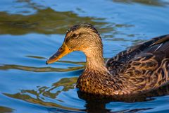 Duck in blue water Stock Image