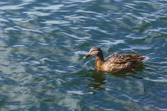 Duck on blue water at beautiful sunny day. Duck on blue water of lake at beautiful sunny day Stock Photos