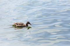 Duck on blue water at beautiful sunny day. Duck on blue water of lake at beautiful sunny day Stock Photography