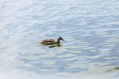 Duck on blue water at beautiful sunny day. Duck on blue water of lake at beautiful sunny day Royalty Free Stock Images