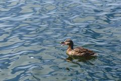 Duck on blue water at beautiful sunny day. Duck on blue water of lake at beautiful sunny day Stock Images