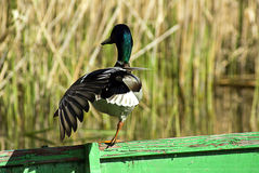 Duck on the boat. Duck on a green boat Royalty Free Stock Images