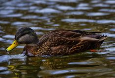 Duck in Bowring Park Duck Pond royalty free stock image