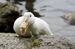 Duck and Bread III Stock Photography