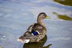 Duck with bright feathers in the water Stock Photos
