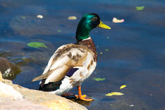 Duck. Bright duck on a pond Stock Photography