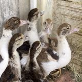 Duck broiler on a home farm. Ducklings in a home farm. Close up of duckling royalty free stock photo