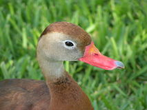 Duck with broken beak. Face of Duck with broken beak and close up Royalty Free Stock Photo