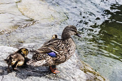 Duck with a brood of ducklings Stock Photo