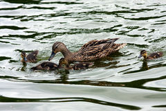 Duck brood. Royalty Free Stock Photos