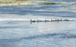 Duck with brood floating on the river. A wild duck with a brood of ducklings floating near the lake shore royalty free stock images