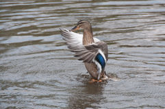 Duck, Brown. A duck landing in a pond Royalty Free Stock Photos