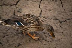 Duck buscando insectos y el agua en fango secado imagen de archivo