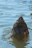 Duck. Dunking his head in the water royalty free stock image