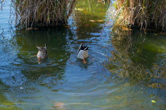 Duck Butts. Ducks feeding in a pond upside-down Royalty Free Stock Photography