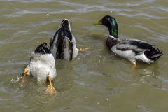 Duck butts. Mallards trying to get food Stock Photos