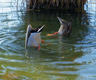 Duck Butts. Two ducks with their butts in the air. Upside down ducks Royalty Free Stock Photo