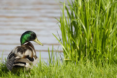 Duck By The Lake Stock Photo