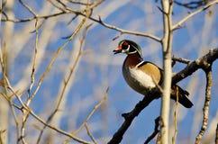 Duck Calling While Perched de madera en un árbol fotografía de archivo