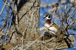 Duck Calling While Perched de madera en un árbol imagenes de archivo