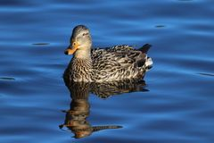 Duck on Calm Waters. A female mallard duck swimming on calm blue water Stock Photography