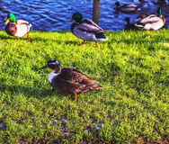 Duck came ashore. Photo Stock Photo