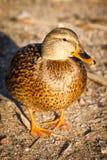 Duck a caminhada na praia no parque Helsínquia Imagem de Stock