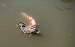 Duck With Carp Fotografia Stock