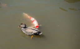 Duck With Carp Stock Photography