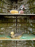 Duck carvings in a duck boat. Several carved and painted ducks are displayed in an  old peeling painted duck standing upright and serving as a display case Royalty Free Stock Photography