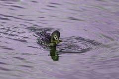Duck Catching ein Fisch Stockfoto