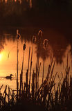 Duck and Cattails Stock Image