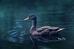 Duck. At central park with beauty wave Royalty Free Stock Photo