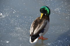 Duck in Central Park in the winter, NYC Stock Photo
