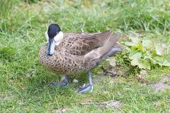 Duck, a cerceta de prata, Anas versicolor, cerceta versicolor Fotos de Stock Royalty Free
