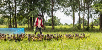 Duck Chase Field, canard eggs la Thaïlande Photos libres de droits