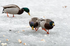 Duck Chase Stock Images