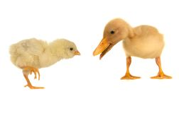 Duck and chick Stock Photos