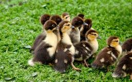 Duck chickens Stock Photo