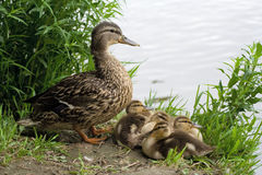 Duck with chicks. Mother duck with chicks near the pond stock photos