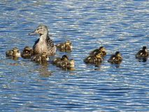 Duck with chicks on blue water in summer. Duck and chicks, family swims in summer on a pond royalty free stock photo