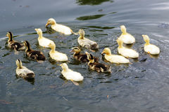 Duck Royalty Free Stock Images