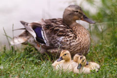 Duck with chicks. And water lilies royalty free stock photo