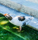 Duck. Chilling out in a hot and sunny afternoon Royalty Free Stock Photo