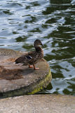 Duck in the city near the pond.  Stock Image