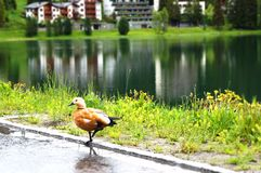Duck in the city Royalty Free Stock Photos
